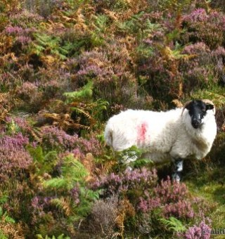 Sheep in Connemara, Ireland